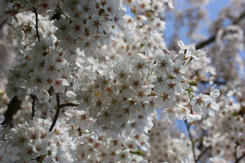Close-Up Of Cherry Blossom Flowering Tree