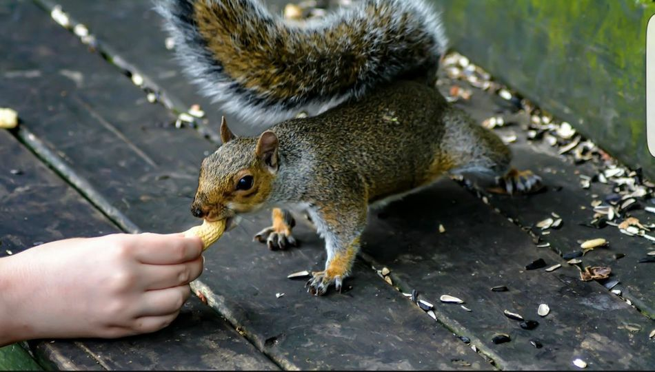 I'm missing my little nut nickers........ Squirrel Saturday Squirrel Feeding Squirrels Taking Photos Hanging Out For The Love Of Photography Manual Mode Photography Nature Photography Nature_collection Photography Nikon D5200 Wildlife Photography Wildlife & Nature