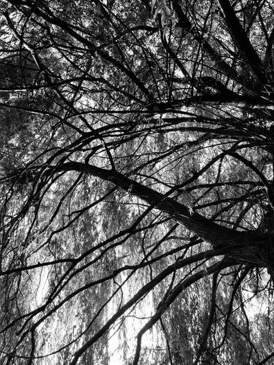 Black and White tree No People Branch Beauty In Nature Blackandwhite Black And White Silhouette Dramatic Buffalo, NY Leaves Tree Branch Backgrounds Full Frame Close-up Outline