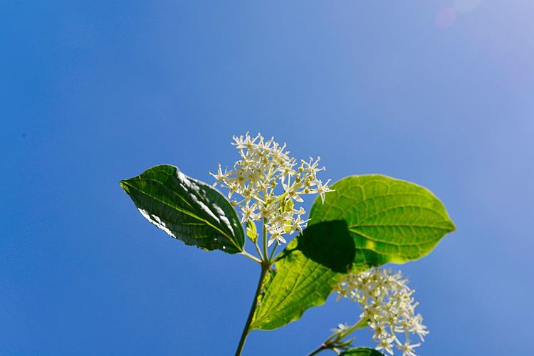 Cornus Sanguinea Common Dogwood Botany Shrub Blossom Leaf Plant Part Plant Blue Nature Beauty In Nature Sky No People Flower Green Color Low Angle View Freshness Day Outdoors Flowering Plant Clear Sky Vulnerability  Fragility Close-up Growth