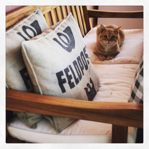 Domestic Cat Pets Feline Animal Themes