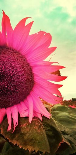 Si les tournesols étaient rose... Pink Itsapinkworld Flowers Nature_collection