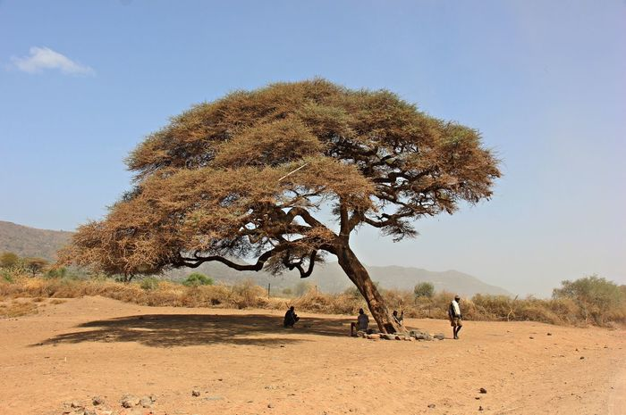 Acacia Tree BeautifulAfrica Ethiopian Photography EyeEm Gallery EyeEmAfrica Adult Adults Only African Beauty Arid Climate Beauty In Nature Day Desert Ethiopianscape Eyeemedits Eyeemlandscape Eyem Best Shots Full Length Landscape Loveafrica Nature One Man Only One Person Outdoors People Real People Sand Sand Dune Scenics Sky Tree