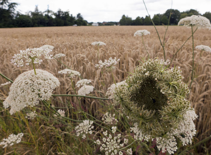 Beauty In Nature Blossom Close-up Conium Maculatum Day Field Flower Focus On Foreground Grain Field Growth Hemlock Herb Inflorescence Meadow Meadow Flowers Nature No People Outdoors Plant Sky Tranquility Tree Umbellate White Wildflower