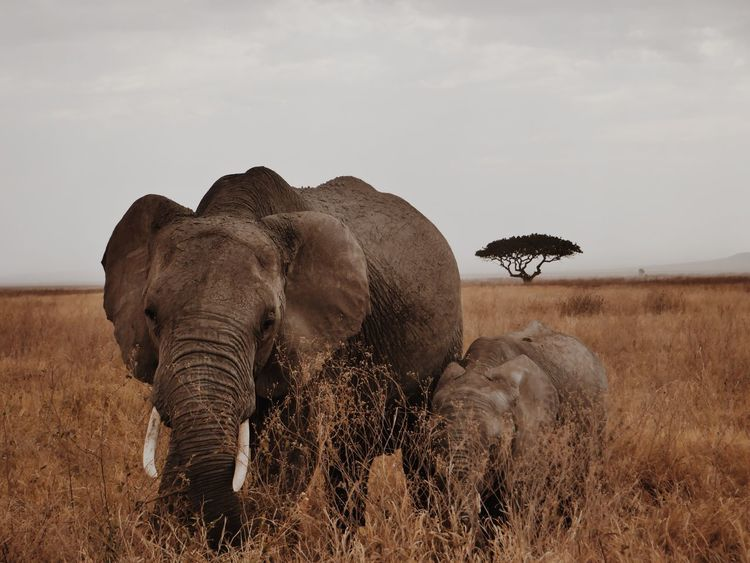 Animal Themes Elephant Safari Animals Elephant Calf Animal Sunset Tarangire Tanzania
