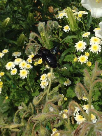 Blaue Holzbiene Holzbiene Bee Fly Bellflower Flower Wood Bee Insect Flying Bee Violette Bee Xylocopa Xylocopaviolacea Black Bee