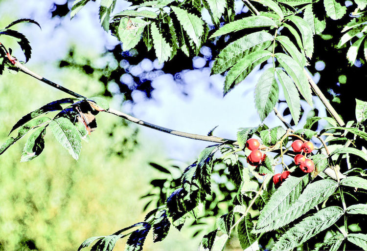 Beauty In Nature Berry Botany Branch Branches Branches And Fruits Branches And Leaves Branches And Sky Close-up Day Freshness Fruit Green Color Growth Hanging Leaf Leaves🌿 Nature Plant Red Fruits Scenics Small Fruits Tranquility Tree Wild Fruits