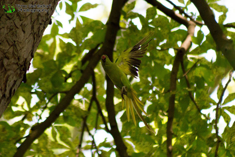 Parrot at Abteipark Brauweiler (Germany) Green Color Nature Tree Outdoors Beauty In Nature Beautiful Beauty In Nature Eye4photography  Check This Out Open Your Mind Parrot Parrots Of Eyeem Parrot❤ Parrots On Tree