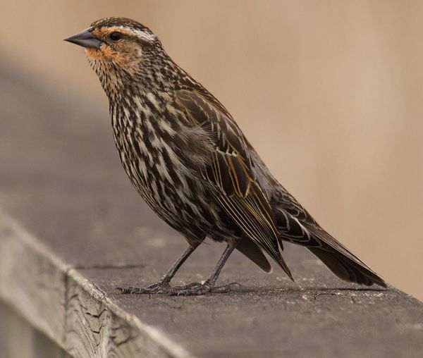 Red-winged blackbird perching on retaining wall