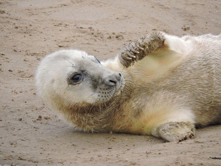 It was time to go and see the seals again at Donna Nook ... its always a good day!! EyeEm Nature Lover Sealife Animal Themes Animals In The Wild Close-up Day Donna Nook Lincolnshire Coast Mammal Nature No People Outdoors Sand Seal Sealpup Young Animal