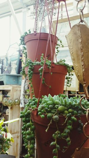 Greenhouse Hanging Business Finance And Industry Agriculture Herbal Medicine Vegetable Plant Green Color