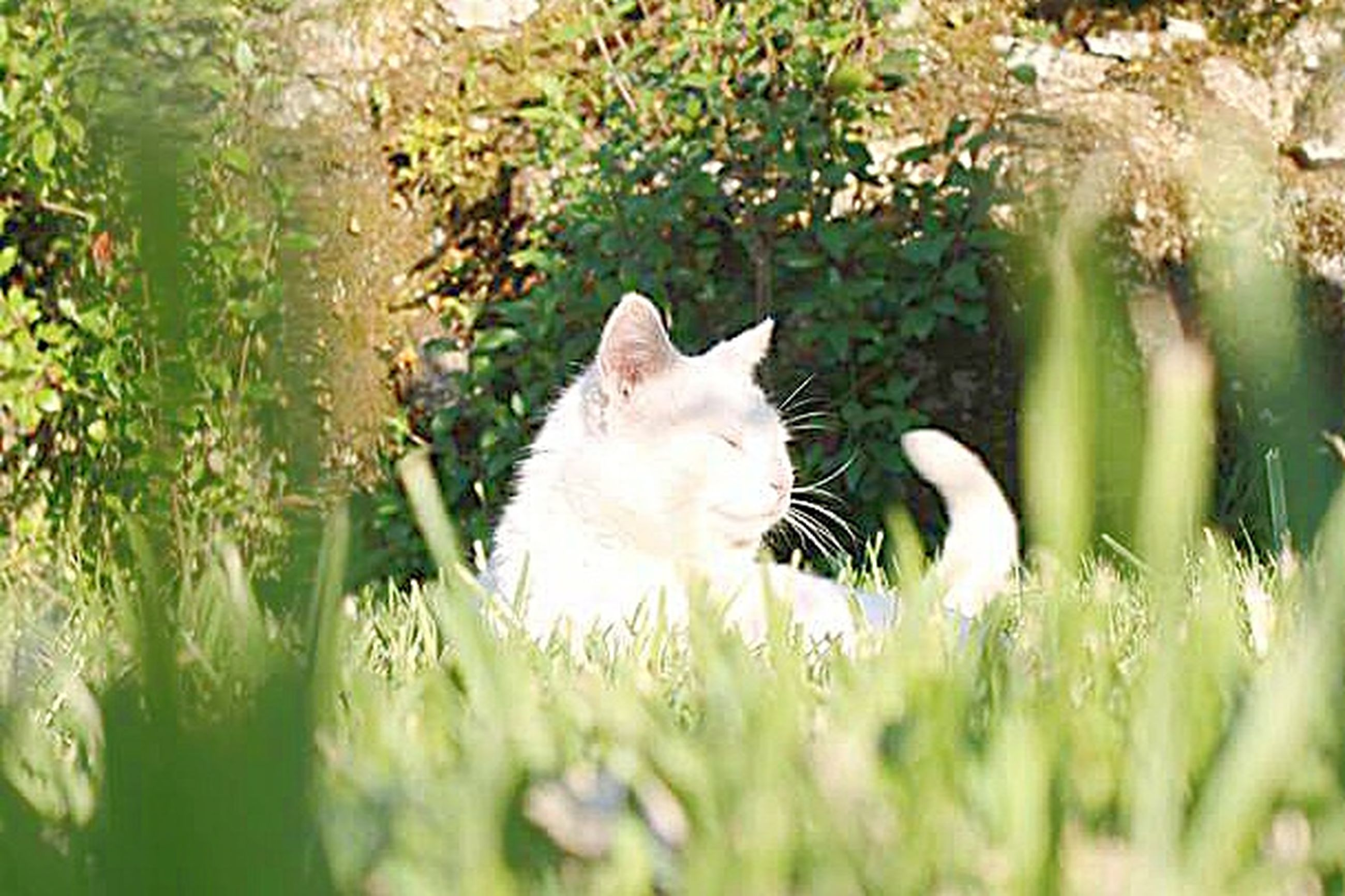 grass, pets, animal themes, domestic animals, one animal, mammal, grassy, field, domestic cat, cat, feline, growth, green color, plant, selective focus, nature, relaxation, dog, day, no people