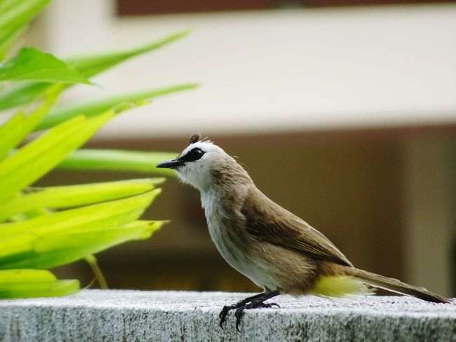 Yellow vented bul bul EyeEmNewHere Focus On Foreground Yellow Vented Bulbul Bird Photography Bird One Animal Animal Themes Perching Nature No People Close-up