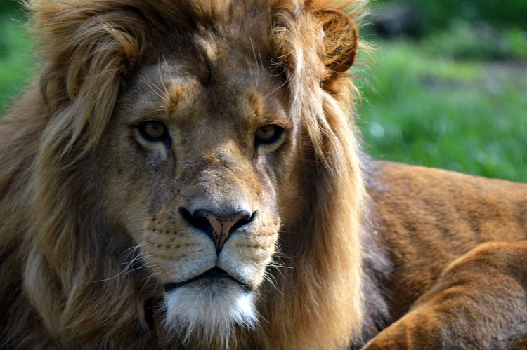 Lion Mammal Animal Themes Animals In The Wild Close-up Lion - Feline Portrait Nature