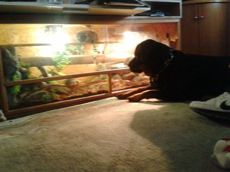 Beobachten wie FREYA die Kornnatter beobachtet!!! Taking Photos @Home Hund Rottweiler