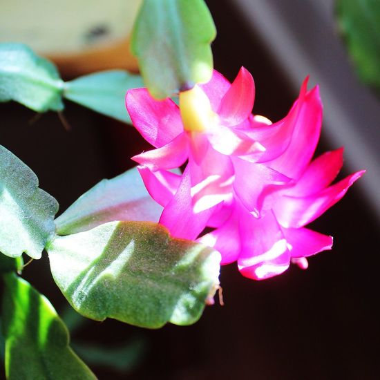 Christmas Cactus late bloomer Check This Out Hello World Taking Photos Beautiful Nature EyeEm Nature Lover Flowers Flowers,Plants & Garden