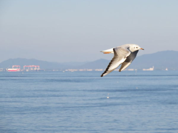 One Animal Flying Sea Bird Sky Nature Day Outdoors No People Japan 有明海 See Gull Kamome 九州 Kyusyu Adapted To The City Miles Away