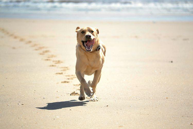 Portrait of labrador retriever running on sand at beach
