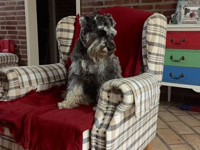 Fine Art Photography Fluffy Dog Schnauzers siting on the arm chair Dog Love Indoor Photography