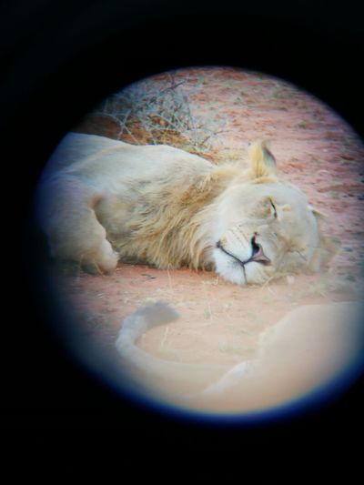 Mobile camera + aligned binoculars = sleeping lion. Binoculars African Safari Lion