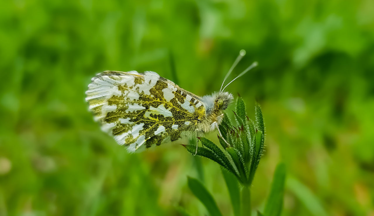 insect, invertebrate, animal wildlife, animal themes, animal, animals in the wild, green color, one animal, plant, animal wing, growth, close-up, beauty in nature, nature, butterfly - insect, plant part, leaf, no people, day, focus on foreground, butterfly, outdoors, moth