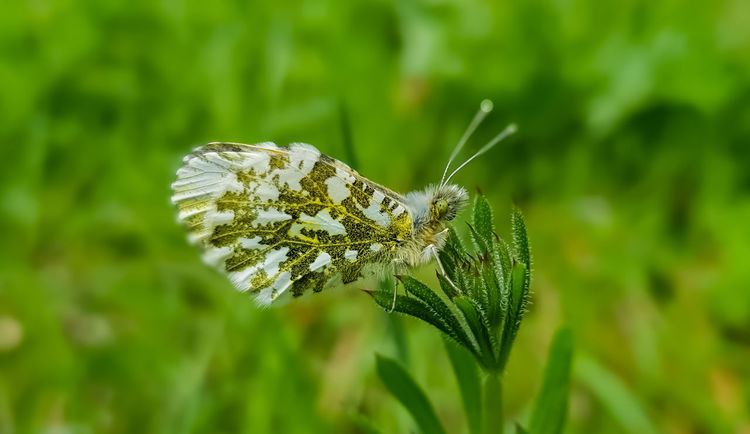Animal Animal Themes Animal Wildlife Animal Wing Animals In The Wild Beauty In Nature Butterfly Butterfly - Insect Close-up Day Focus On Foreground Green Color Growth Insect Invertebrate Leaf Moth Nature No People One Animal Orange Tip Butterfly Outdoors Plant Plant Part