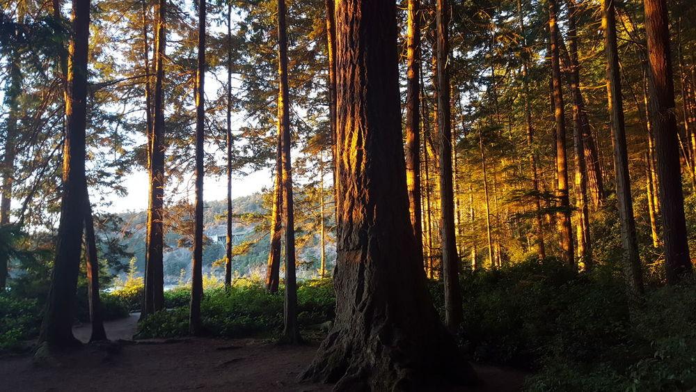 Sunset in the woods. Sunset Woods Forest Tree WoodLand Scenics Nature Whidbey Island Deception Pass Washington Washington State Northwestsunsets Breathing Space