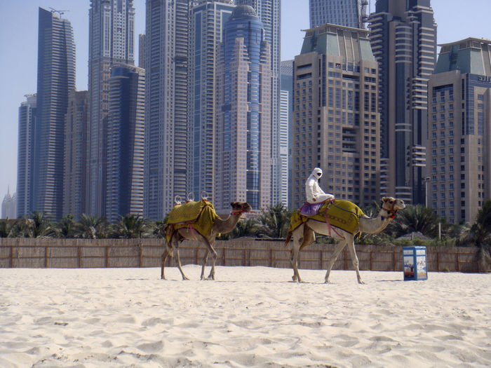 Dubai Animal Animal Themes Animal Wildlife Architecture Beach Building Building Exterior Built Structure Camel City Domestic Domestic Animals Land Livestock Mammal Nature Office Building Exterior Outdoors Sand Skyscraper Vertebrate Working Animal