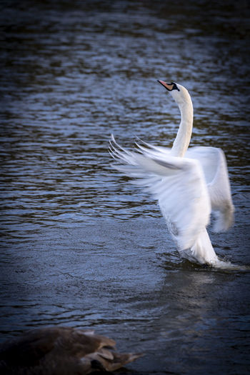 White swan in a lake