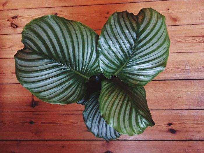 Plant Directly Above Calathea Leaf Indoors