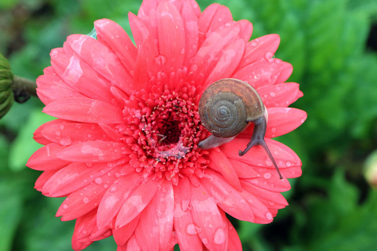 Top view of a little snail relaxing on vibrant pink blooming Gerbera flower with snail slime and many water droplets Flowering Plant Flower Fragility Close-up Plant One Animal Beauty In Nature Petal Animal Wildlife Animals In The Wild Growth Freshness Pink Color Pollen Snail Shell Garden Drop Droplet Dew Dew Drops Insect Cute Beauty In Nature Green