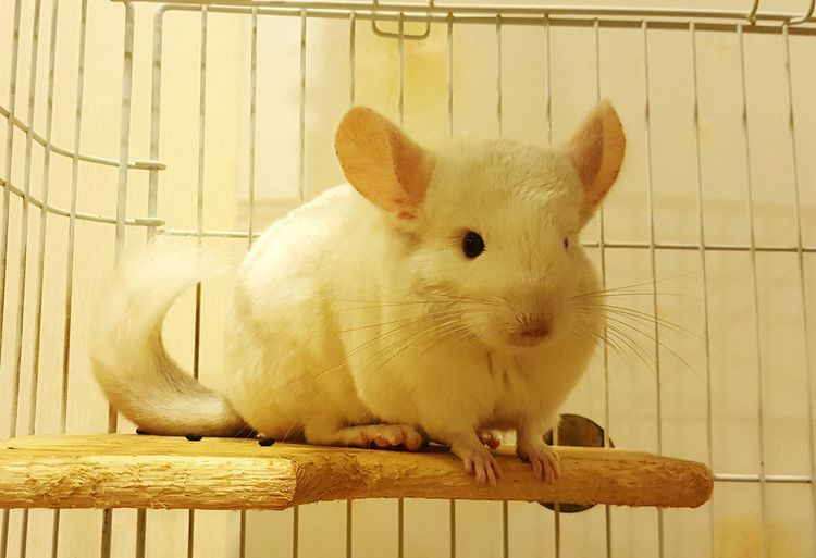 Chinchilla Chinchilla Lover Pet Photography  Pet Lover Cute Pet Chinchilla Photography Pet My Pet South America Pet By SS Note5 No Filter