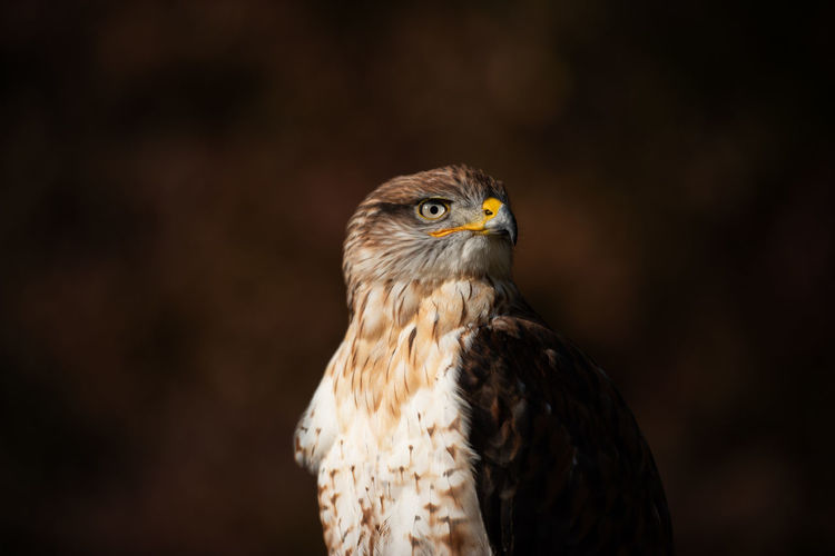 Birds_collection Eyeem Birdphotography EyeEm Birds Bird Photography Birds Of EyeEm  Birds Nature_collection Nature Nature Photography Animal Themes Animal Wildlife Close-up No People Focus On Foreground Bird Of Prey Bird One Animal Ferruginous Hawk Buteo Regalis
