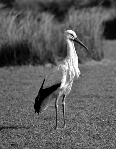 Stork looking away standing on field