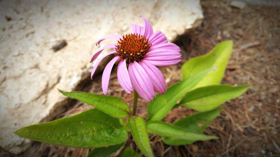 Purple magnus in my garden First Eyeem Photo