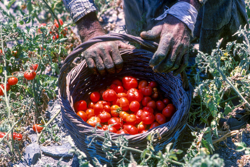 High Angle View Of Farmer Harvesting Tomatoes