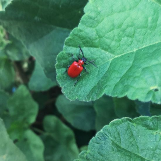 Naturelovers Red Lily Beetle Nature Photography Red Lilly Beetle Red Lily Beetle Nature Photography Plant Part Leaf Insect Invertebrate Green Color Animal Wildlife One Animal