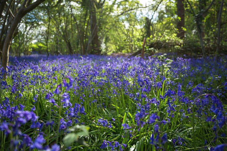Spring Blues. Spring England Canon DSLR Colors colour of life Nature Outdoors EyeEm Nature Lover Crocus Flower Tree Botanical Garden Rural Scene Purple Flower Head Close-up Plant Plant Life