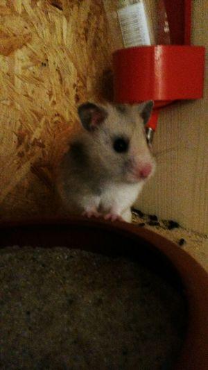 Frida - Mein Herz Meine Haustier Hamster Love Hamster ♡ Hamstertime My Hamster My Hamster *-* Haustier Haustiere Unsere Haustiere Hamster(:
