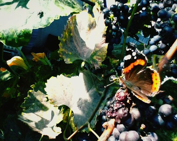 Leaf Nature Day Food Tree Close-up Insects  Grapes Nature Outdoors No People Slow Food Beauty In Nature @wolfzuachis Ionitaveronica Wolfzuachis Eyeem Market Showcase: 2016 Butterfly - Insect Romania Showcase: November Butterfly Critters Critter Bugs