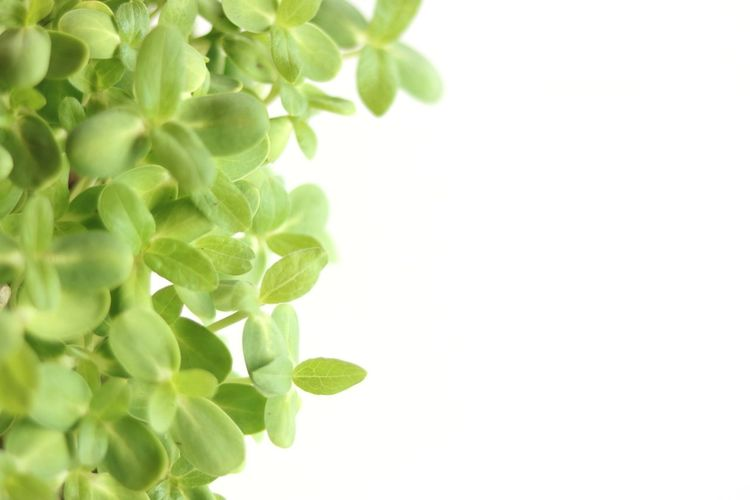 ต้นอ่อน ต้นอ่อนทานตะวัน Sapling Sapling Tree Sunflower Salad Green Color Leaf Plant White Background Herbal Medicine Mint Leaf - Culinary Herb Nature