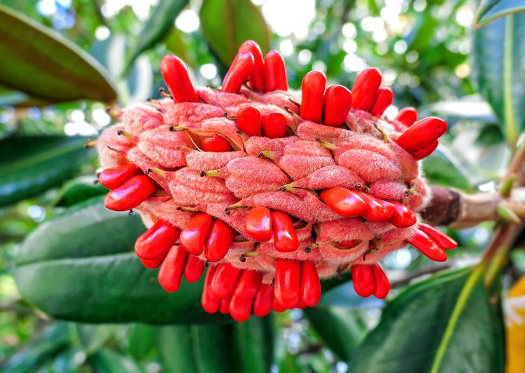 Magnolia red
