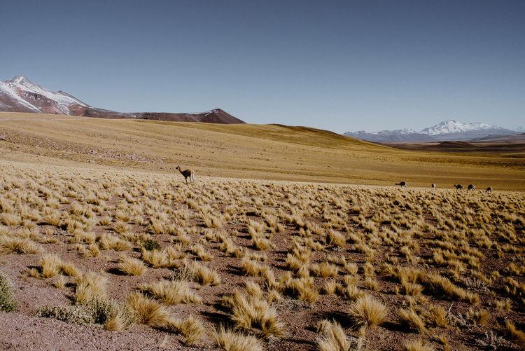 Scenic view of deers in desert