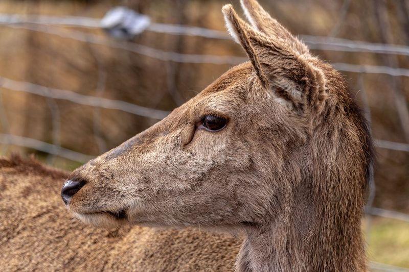 doe a deer.... Red Deer Torridon Scotland EyeEm Nature Lover Doe Hind EyeEm Selects Portrait Close-up Animal Eye Snout HEAD Eye Mug Shot