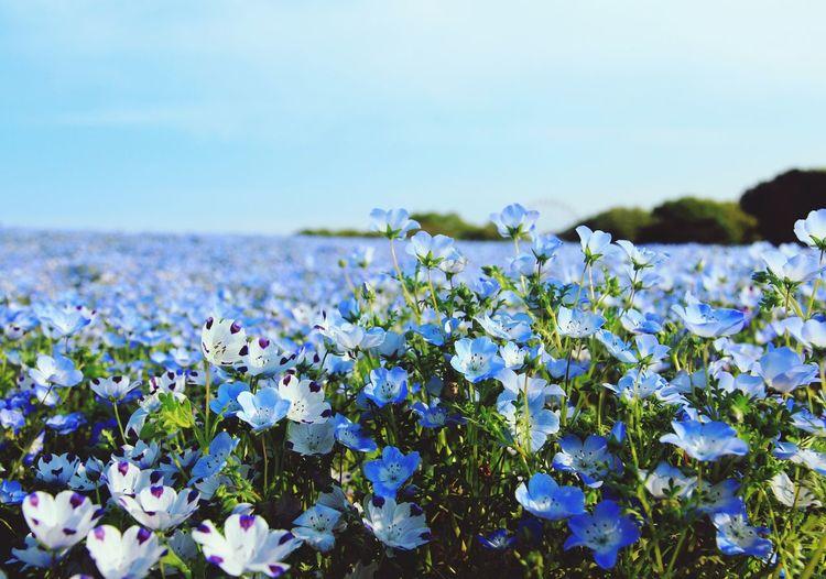 Nemophila Blue BabyBlueEyes Flowers Nature 瑠璃唐草 ひたち海浜公園