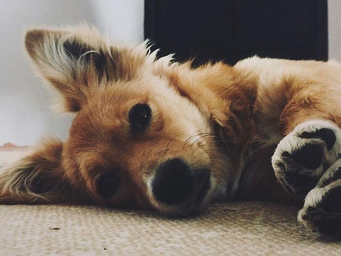 Pets Dog One