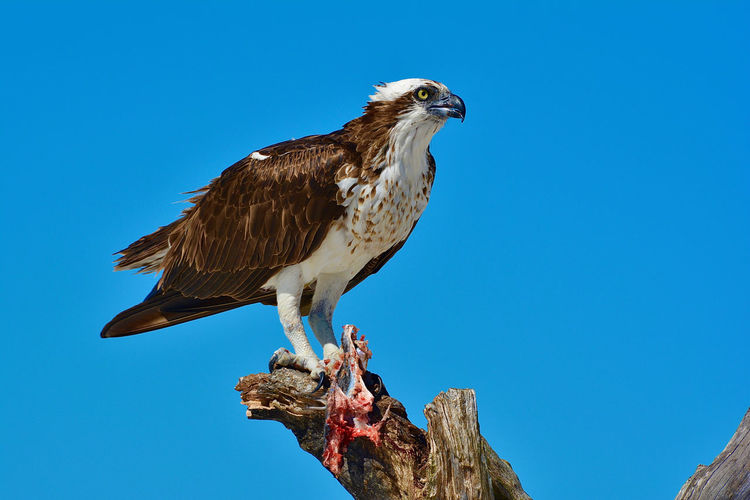 Low angle view of eagle perching on tree against blue sky