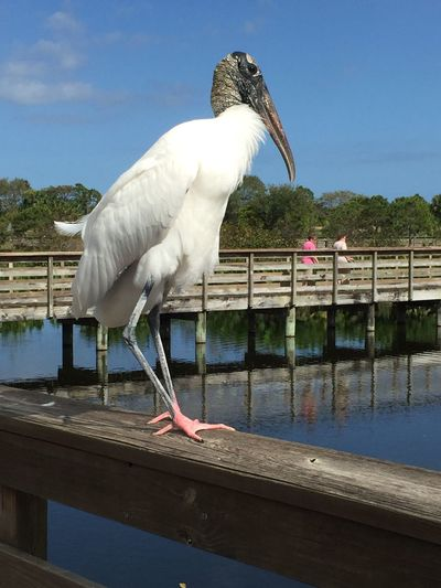 Animals In The Wild Wood Stork up close and personal posing on the boardwalk railing Bird Water Sky