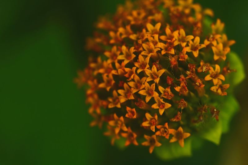 Close-up of orange lantana camara blooming outdoors
