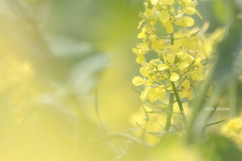 EyeEmBestPics EyeEm Best Shots Flowers Of EyeEm Flowers, Nature And Beauty Flower Collection Bokeh Photography Bokeh 前ボケ 黄色 菜の花 Yellow Flower Nature Beauty In Nature Fragility Close-up Plant Flower Head